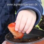 Plante tomater i dagplejen.