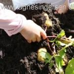 Opfølgning på kartoffelprojektet